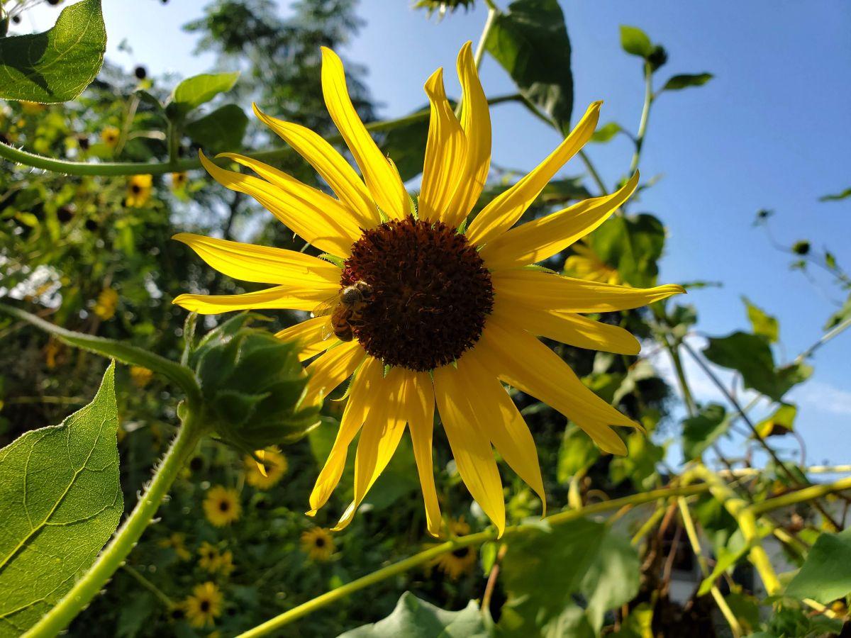 Bee on Common sunflower
