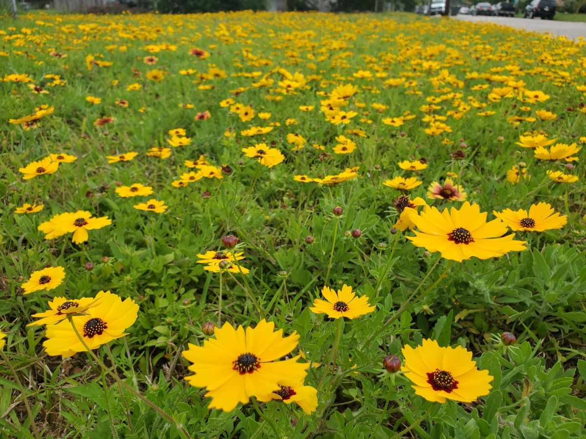 The author's front yard of Coreopsis that never needs watered